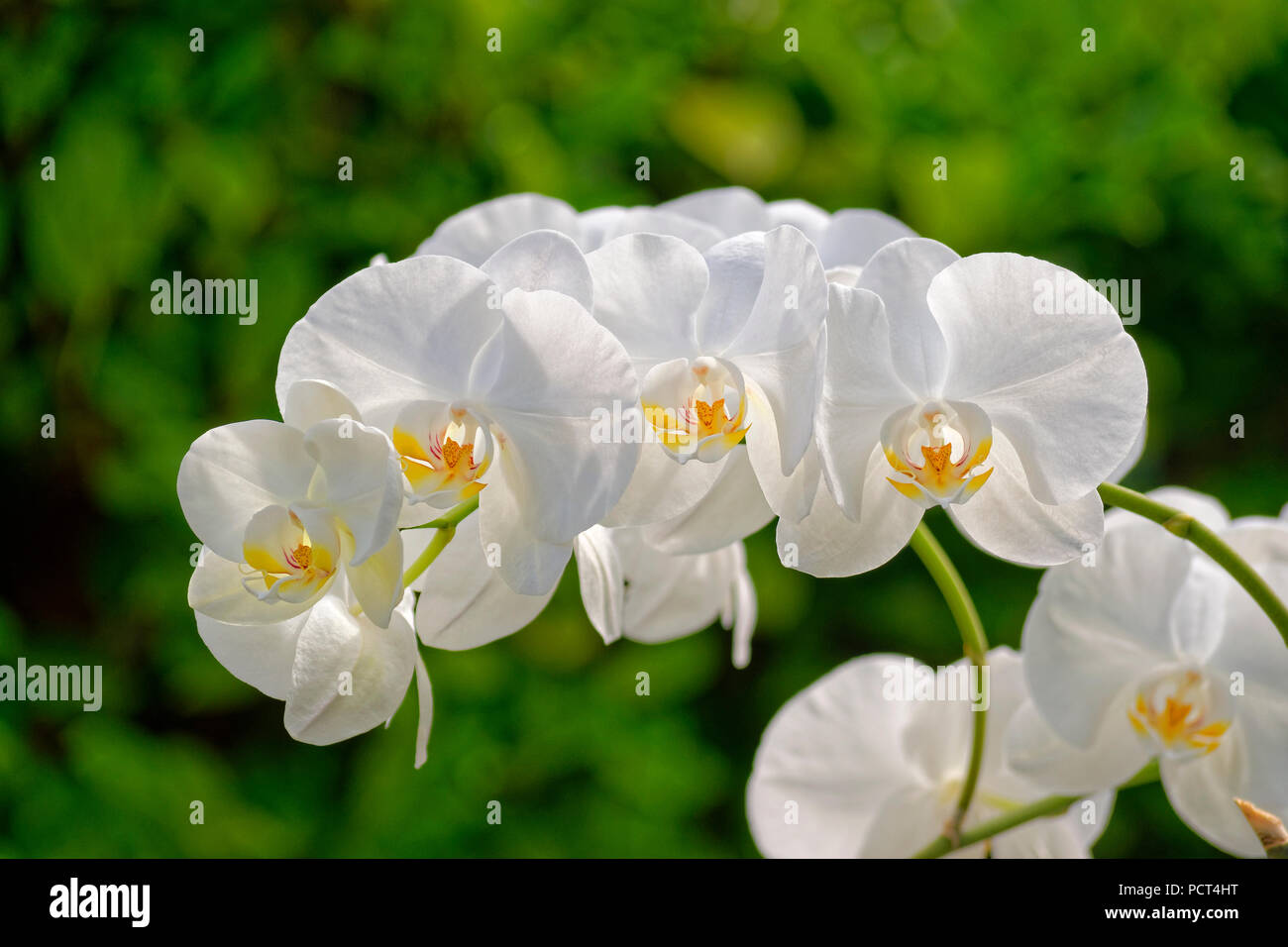White Orchid Flowers sometimes called 'Moth' orchid. Phalaenopsis hybrid. - Stock Image