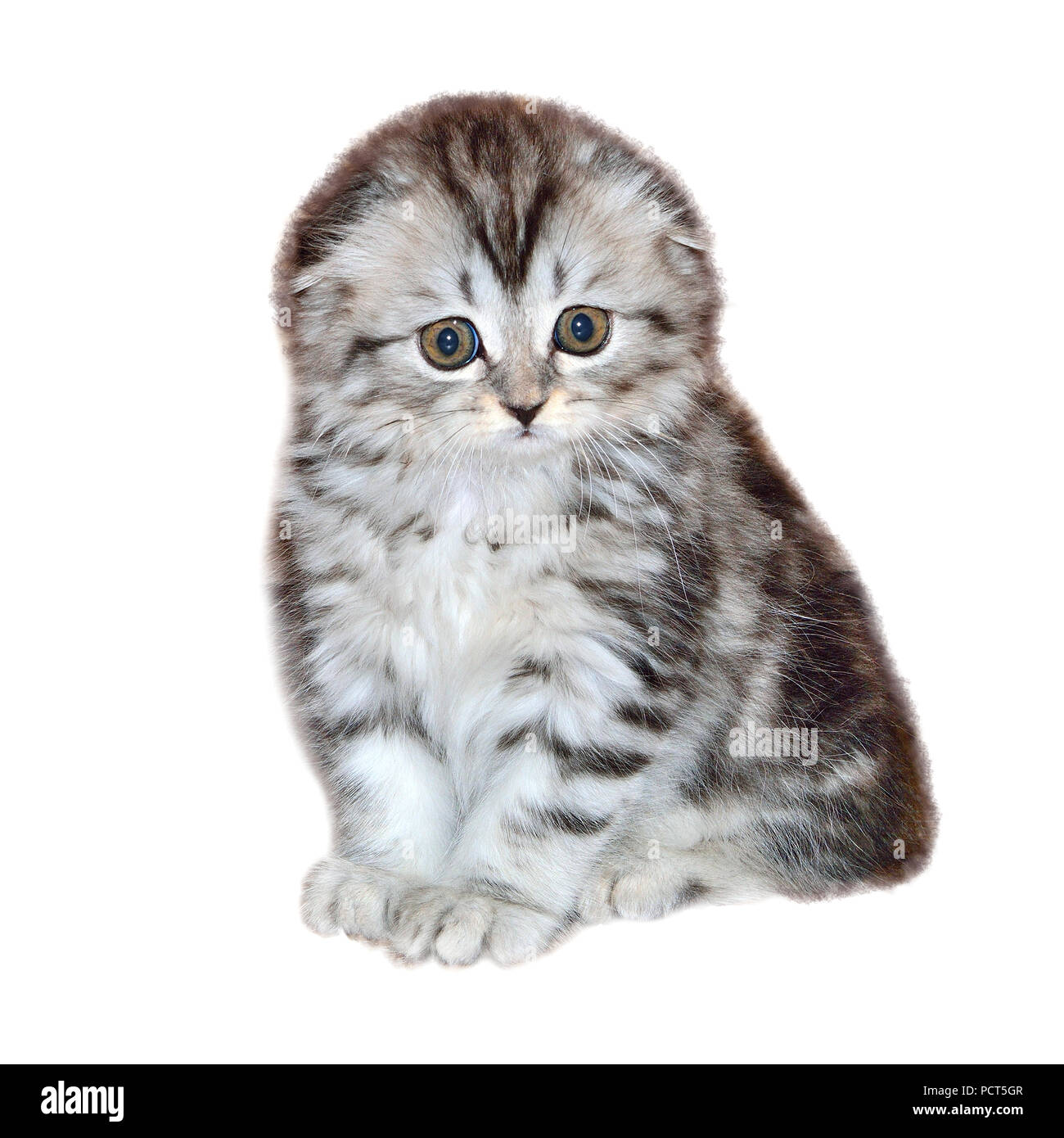 Portrait of little kitten of Highland Fold or or Scottish Fold longhaired and  flap-eared breed with fur colored in black marble on silver, close up,  Stock Photo