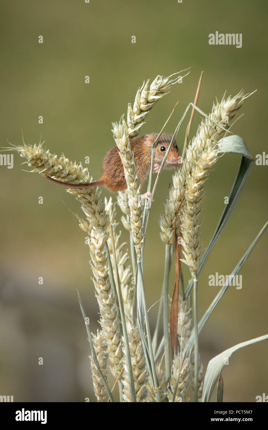A small harvest mouse on ears of grain. Taken in upright vertical format, the photograph shows the mouse amongst the wheat. - Stock Image