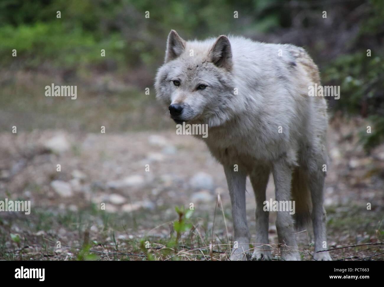 Grey Wolf. Golden, British Columbia, Canada - Stock Image