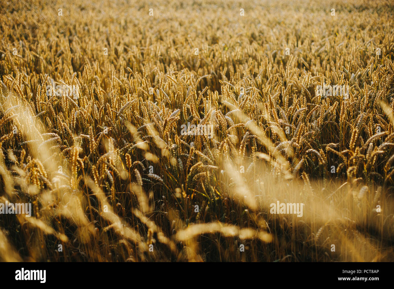rich wheat field during sunset Stock Photo