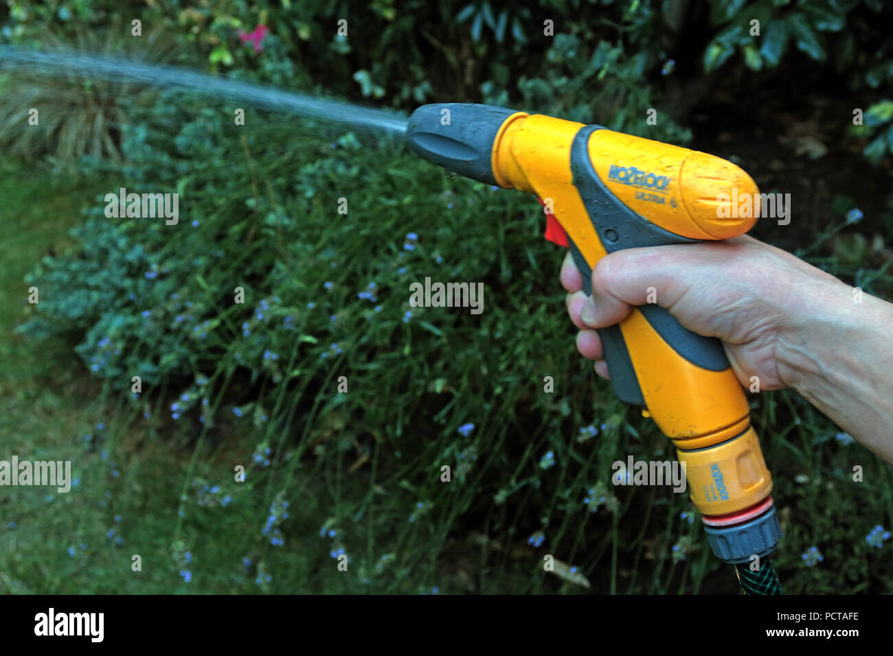 Woman resident, using a hoselock hosepipe, in a garden, summertime - Stock Image