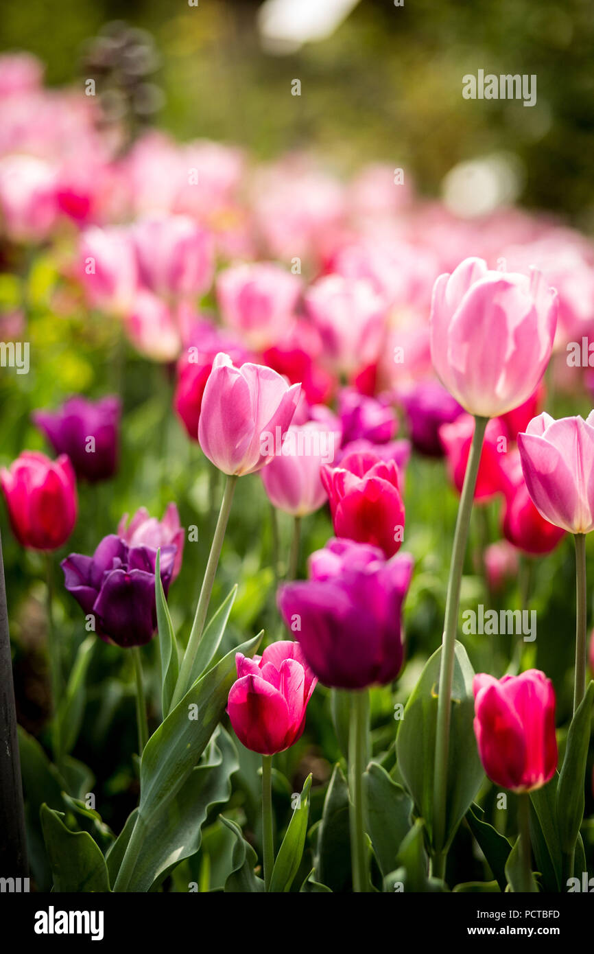 Tulip field, colorful tulips with blurred background Stock Photo