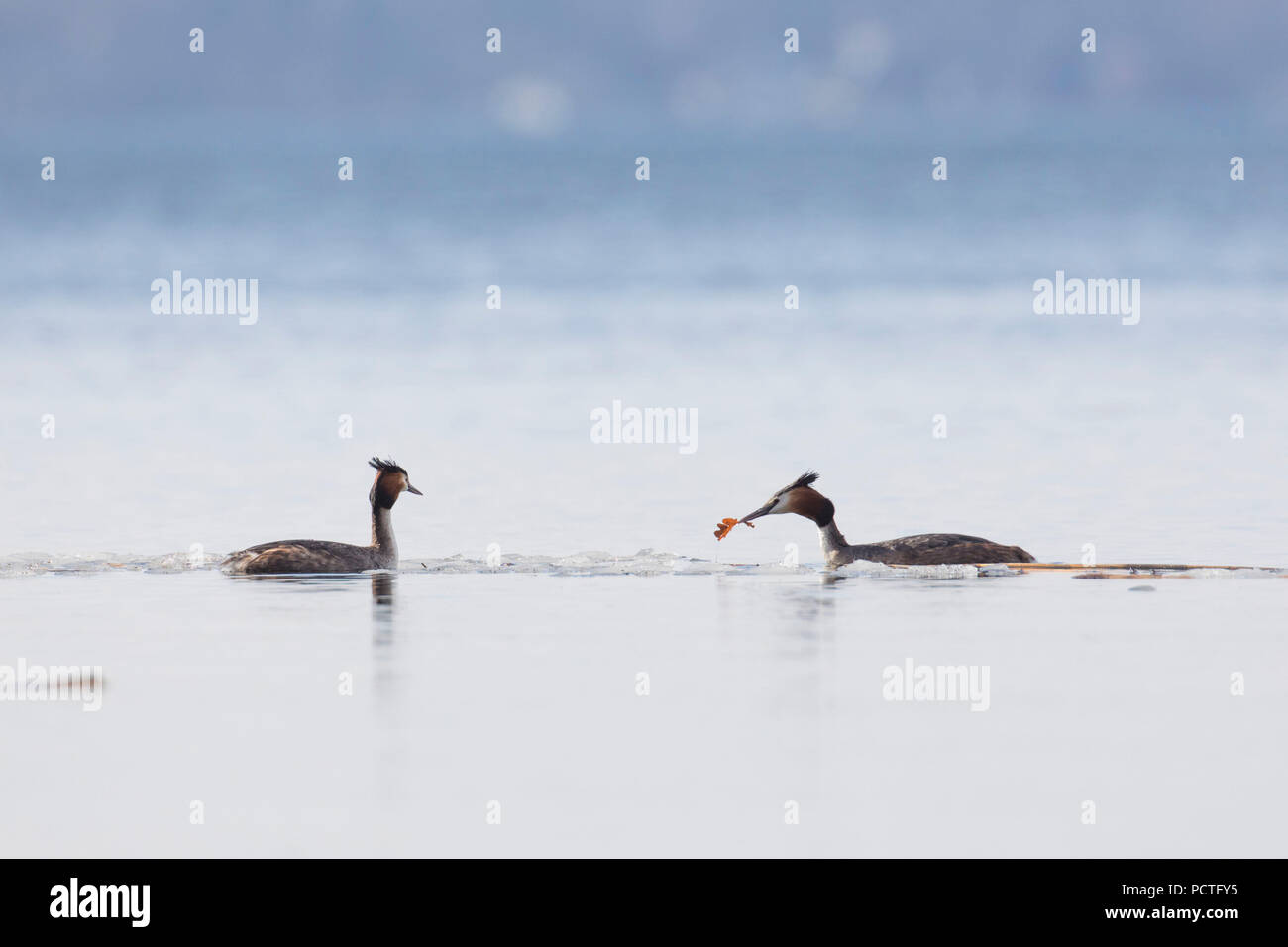 Great Crested Grebe, Podiceps cristatus, couple courting - Stock Image