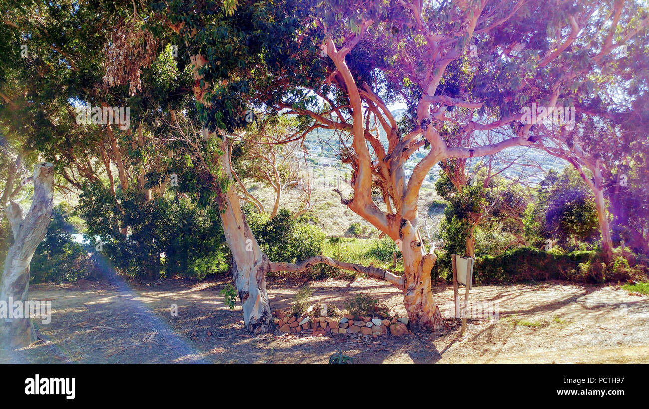 two trees grown together in bright colors, South Africa - Stock Image