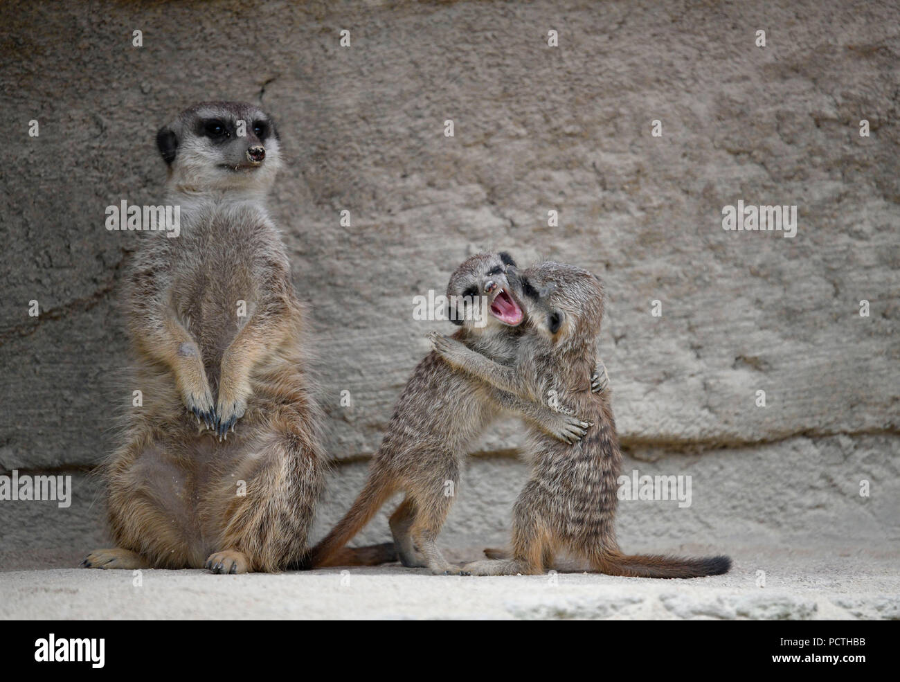 Meerkat, Suricata suricatta, pups, 6 weeks old, playing along adult, captive - Stock Image