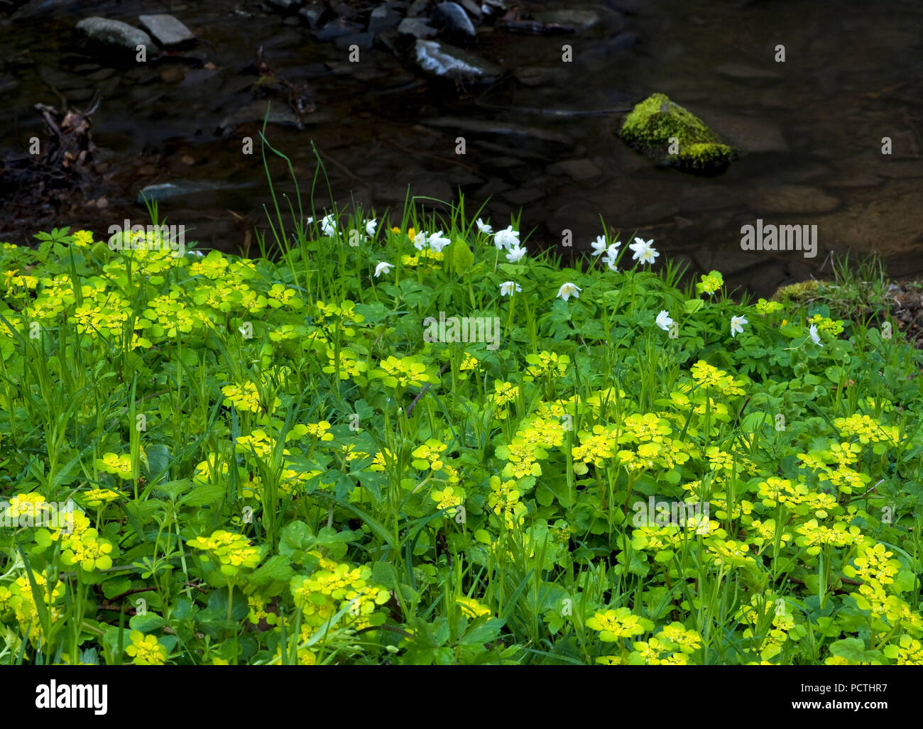 Germany, Hesse, Vöhl, nature and national park Kellerwald-Edersee, creek with alternate-leaved golden-saxifrage, primeval forest trail - Stock Image
