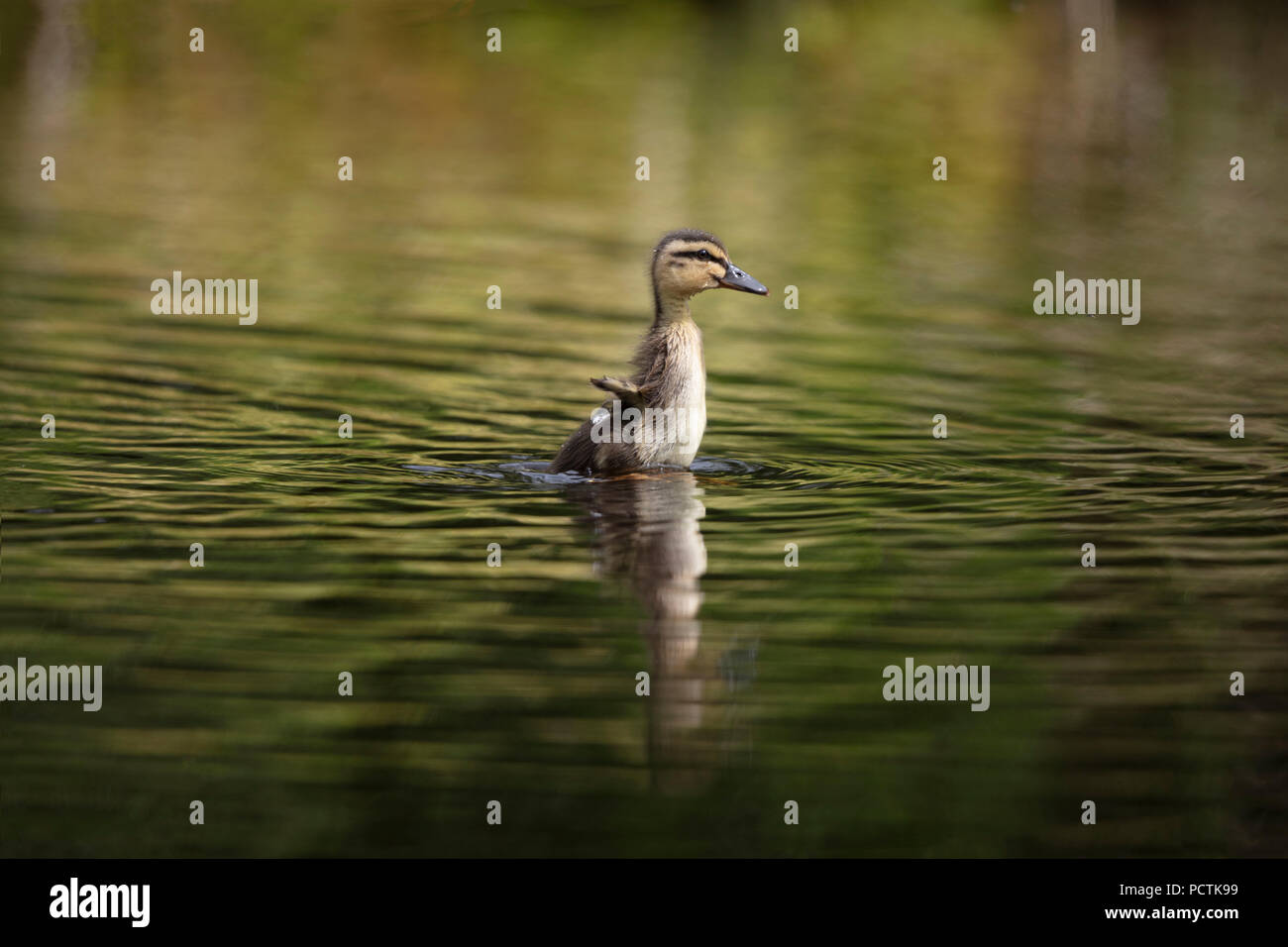 cute little duckling flapping very tiny wings - Stock Image