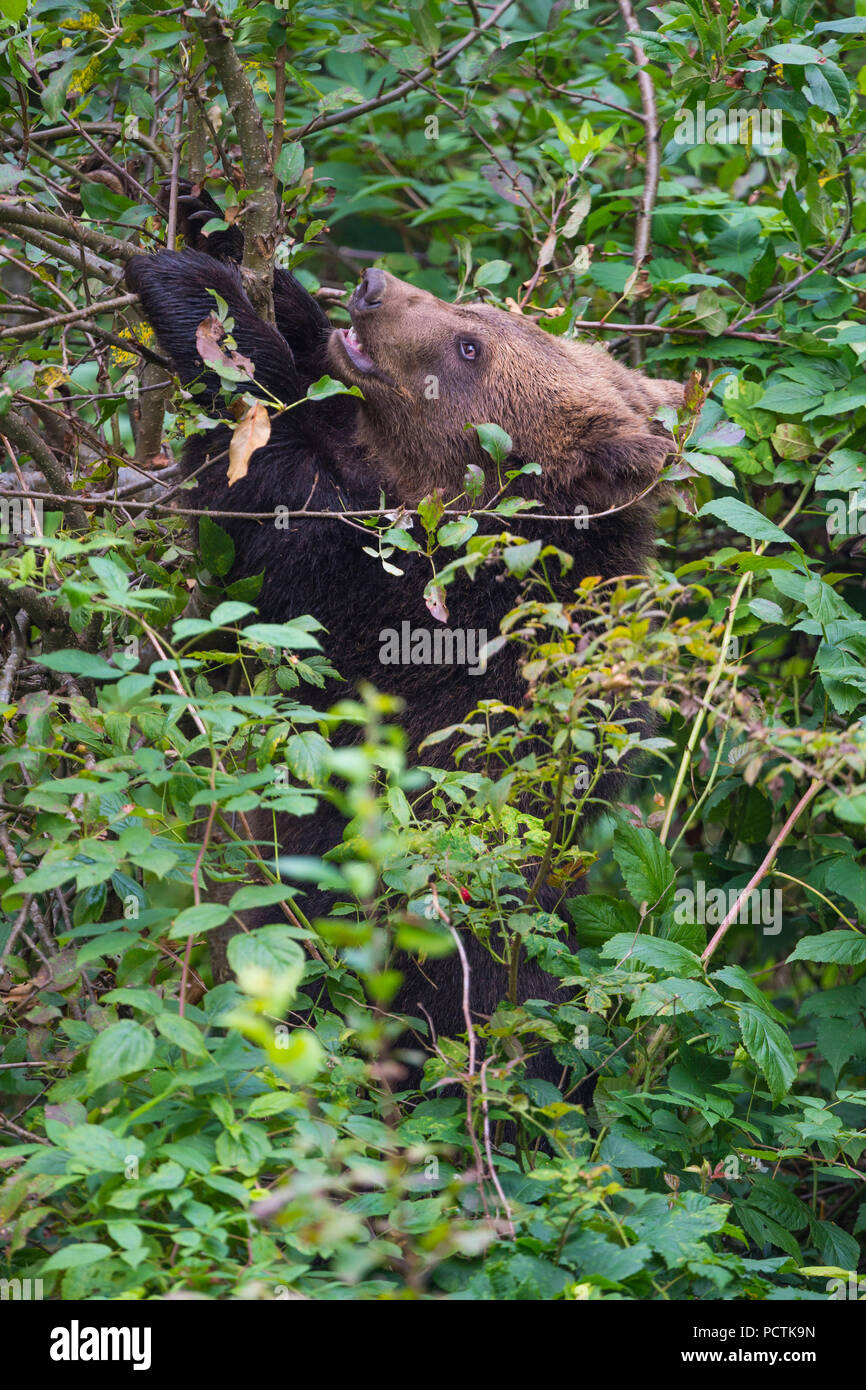 European Brown Bear, Ursus arctos, Cub in shrubbery, Bavaria, Germany - Stock Image