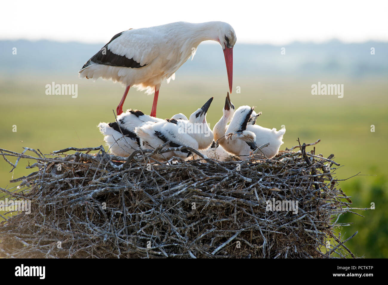 White stork, youngs asking something to eat, France - Stock Image