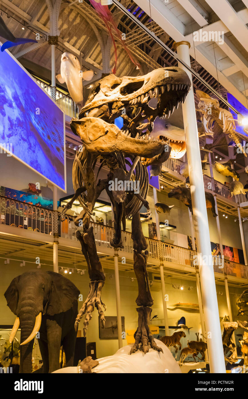 Great Britain, Scotland, Edinburgh, The National Museum of Scotland, Exhibit of Tyrannosaurus Dinosaur - Stock Image