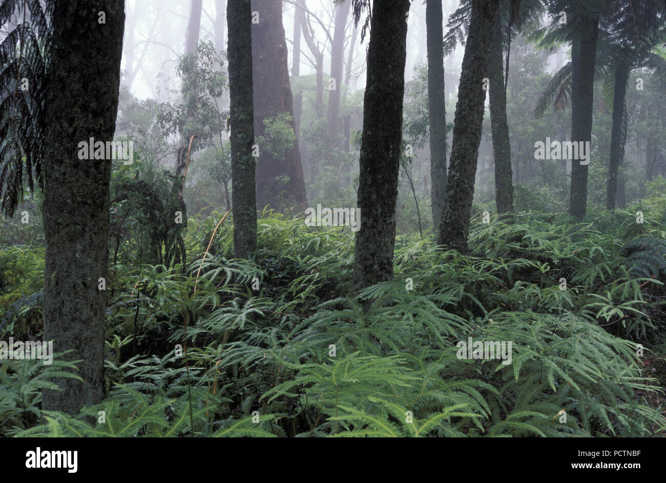 RAINFOREST SCENE, MOUNT WILSON IN THE BLUE MOUNTAINS, NEW SOUTH WALES, AUSTRALIA - Stock Image