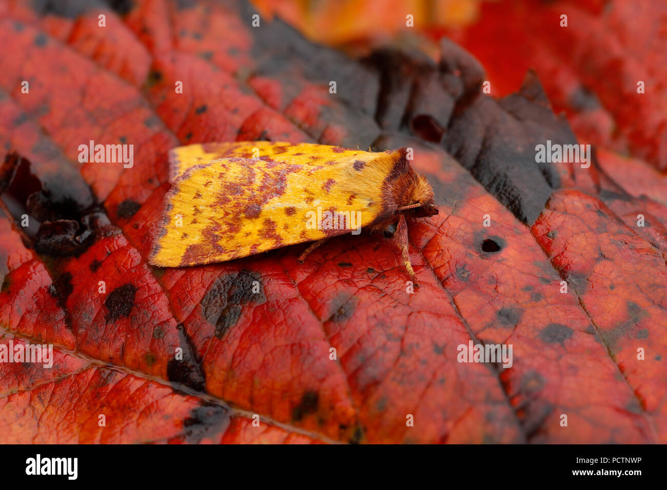 Pink Barred Sallow Moth Xanthia togata Single on Leaf Cornwall; UK - Stock Image