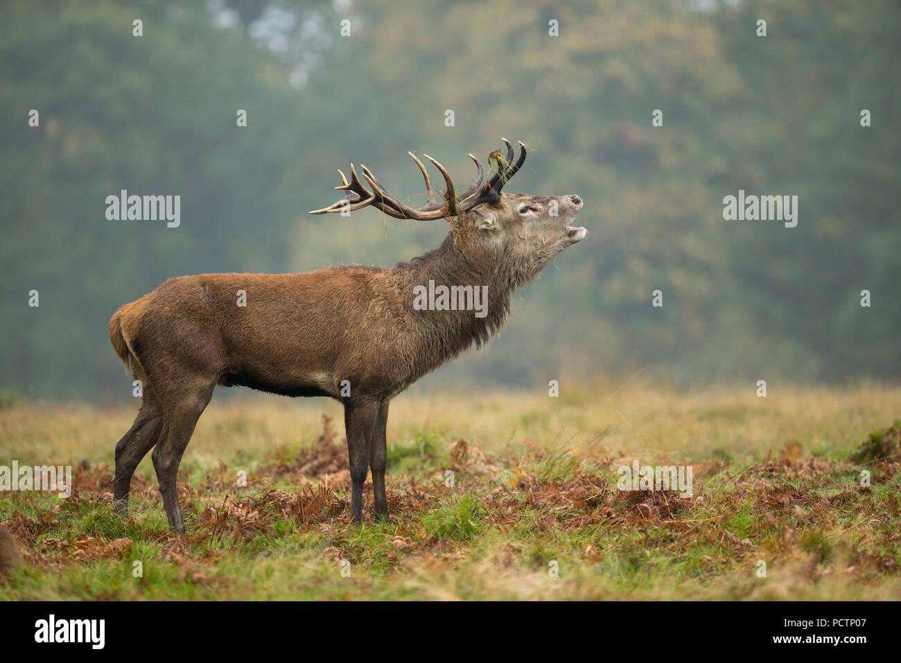 Red Deer; Cervus elaphus Single; Stag Roaring Richmond Park; London; UK - Stock Image