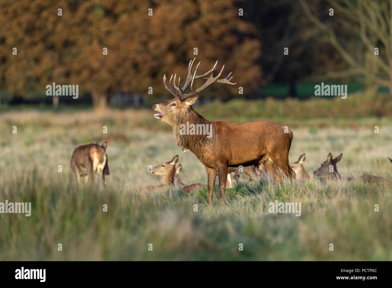 Red Deer; Cervus elaphus Herd; Stag Roaring  Richmond Park; London; UK - Stock Image