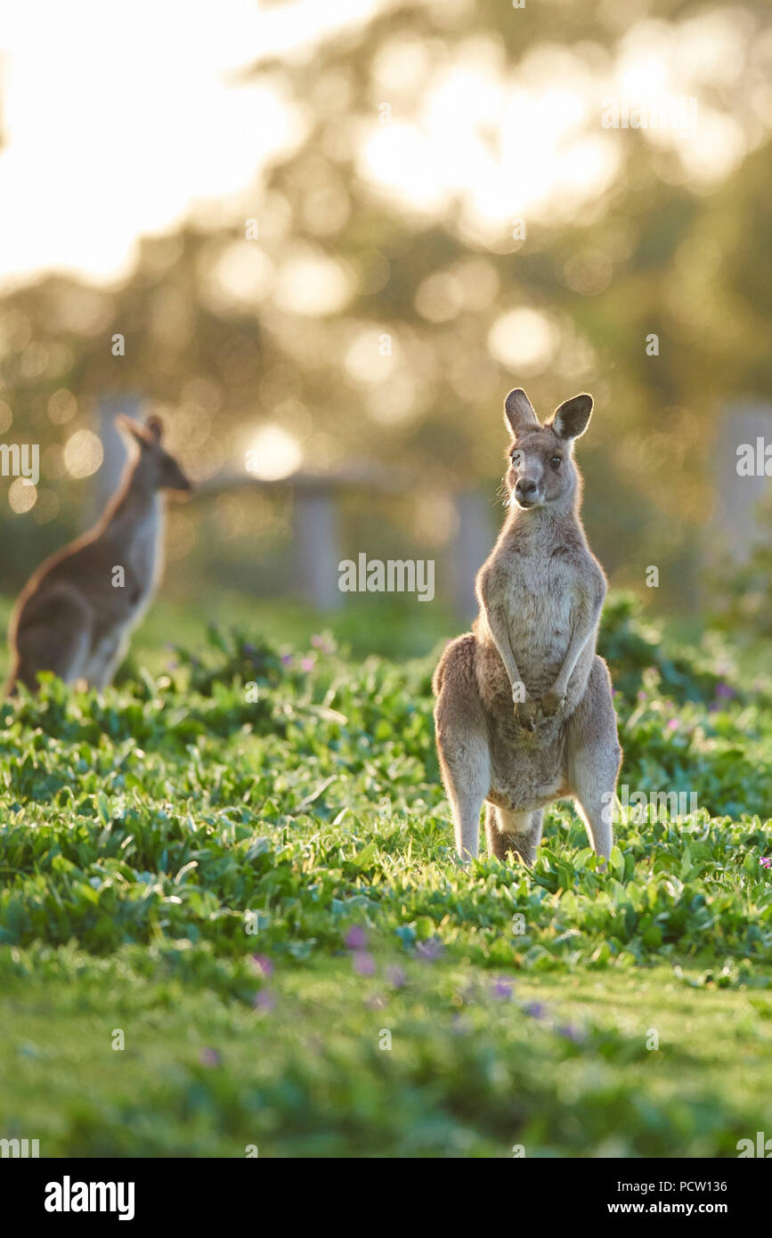 Eastern Gray Kangaroo (Macropus giganteus), meadow, standing, Victoria, Australia, Oceania Stock Photo