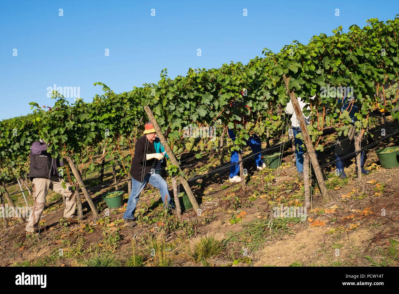 Vintage of Scheurebe, vineyard estate Reinhold Sauer in Escherndorf, municipality of Volkach, Main Franconia, Lower Franconia, Franconia, Bavaria, Germany - Stock Image