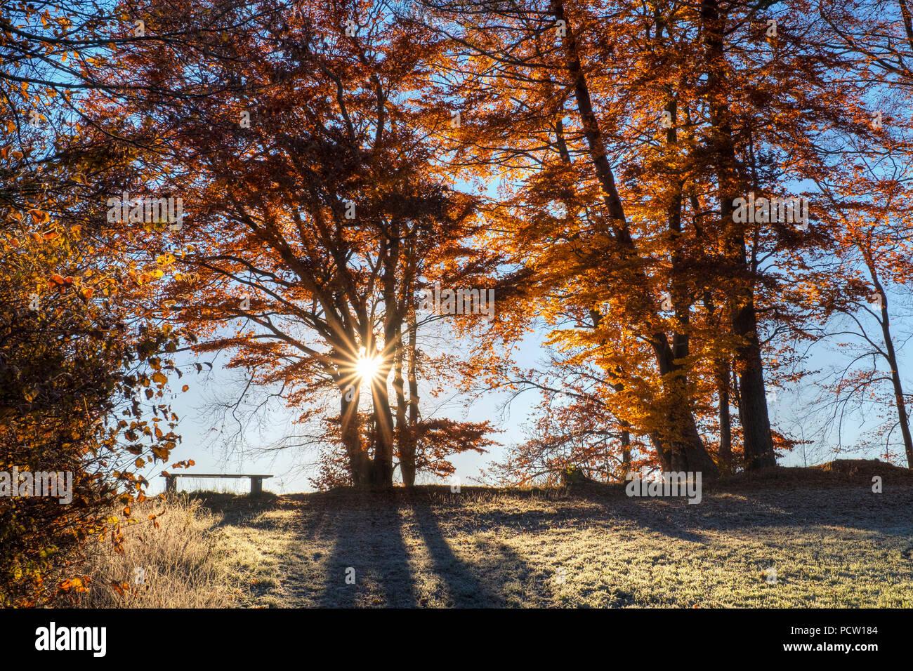 Sunrise with autumnal beech trees, Schlederloh near Icking, Upper Bavaria, Bavaria, Germany Stock Photo