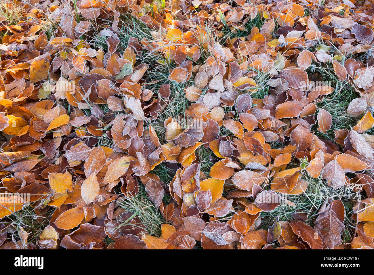 Beech leaves with hoarfrost on meadow, Icking, Upper Bavaria, Bavaria, Germany Stock Photo
