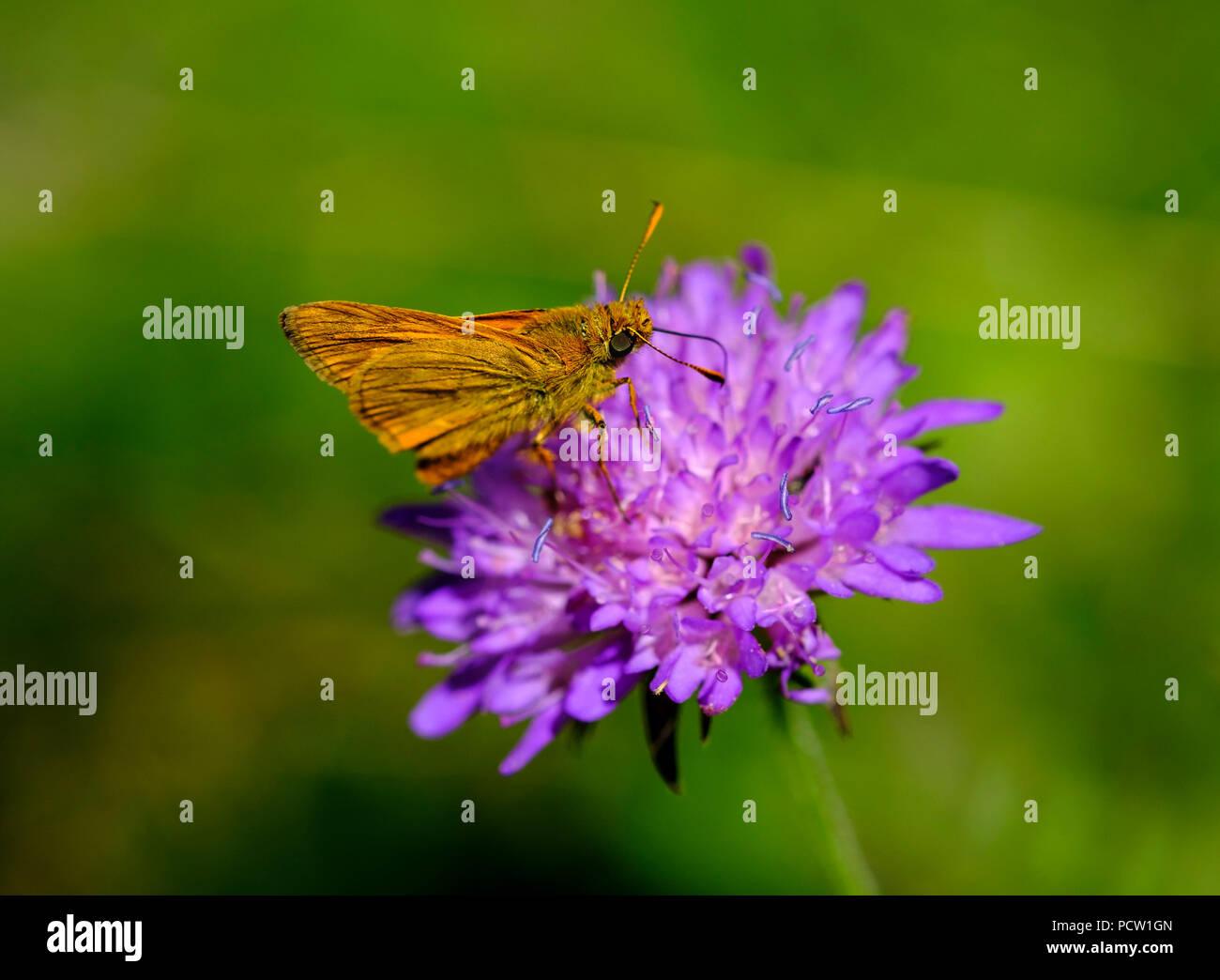 Large skipper (Ochlodes sylvanus, Ochlodes venata), Field Scabious Flower (Knautia arvensis), nature reserve Isarauen, Upper Bavaria, Bavaria, Germany - Stock Image