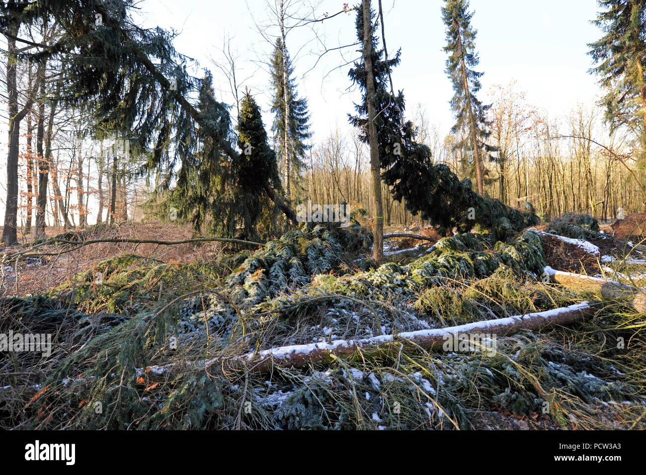 Sturm 'Friederike' swept over Saxony at the end of January 2018 in hurricane force and left heavy damage in the forests of Saxony by fallen trees - Stock Image