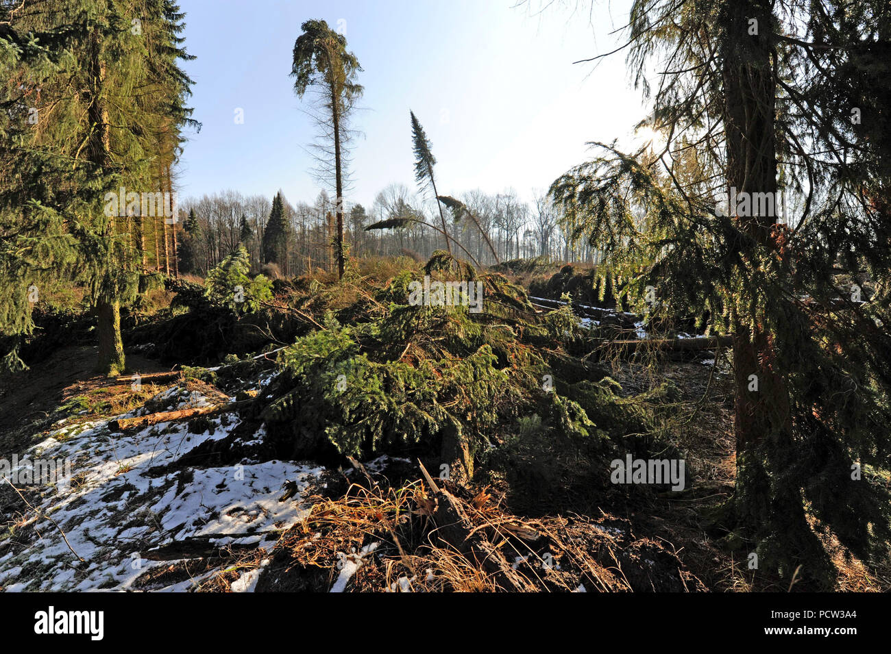 Sturm 'Friederike' swept over Saxony at the end of January 2018 in hurricane force and left heavy damage in the forests of Saxony across fallen trees - Stock Image