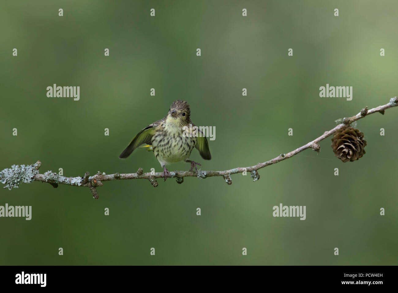 Tiny little siskin bird flapping its wings to be fed - Stock Image