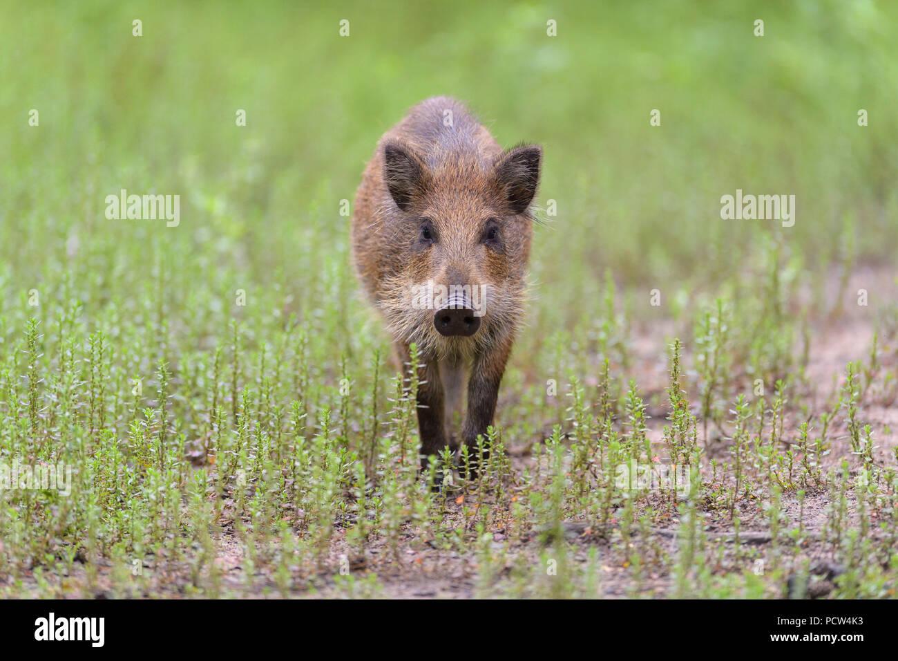 Wild boar, Sus scrofa, Hesse, Germany, Europe - Stock Image
