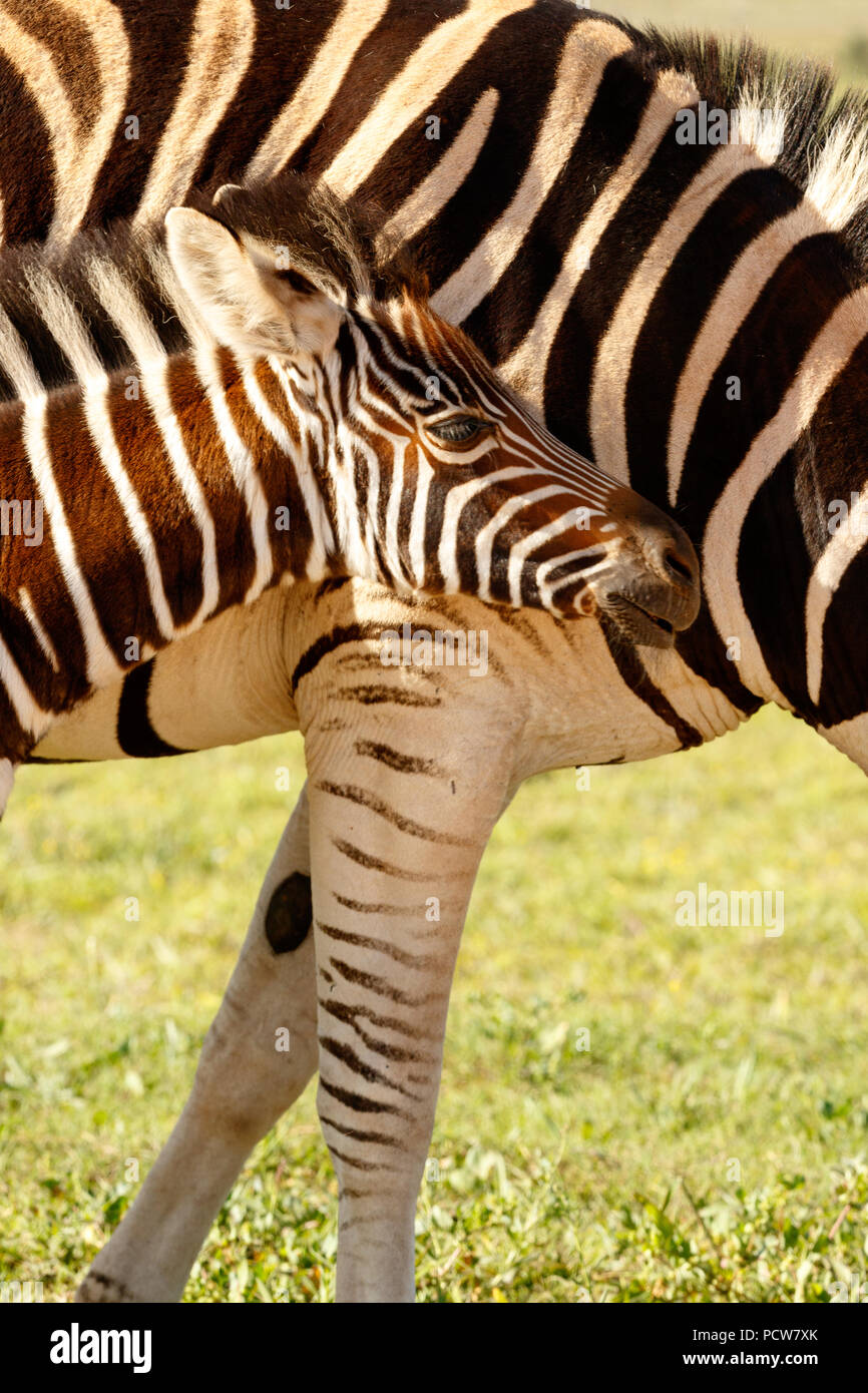 Zebra baby standing tight against her mom in the field - Stock Image