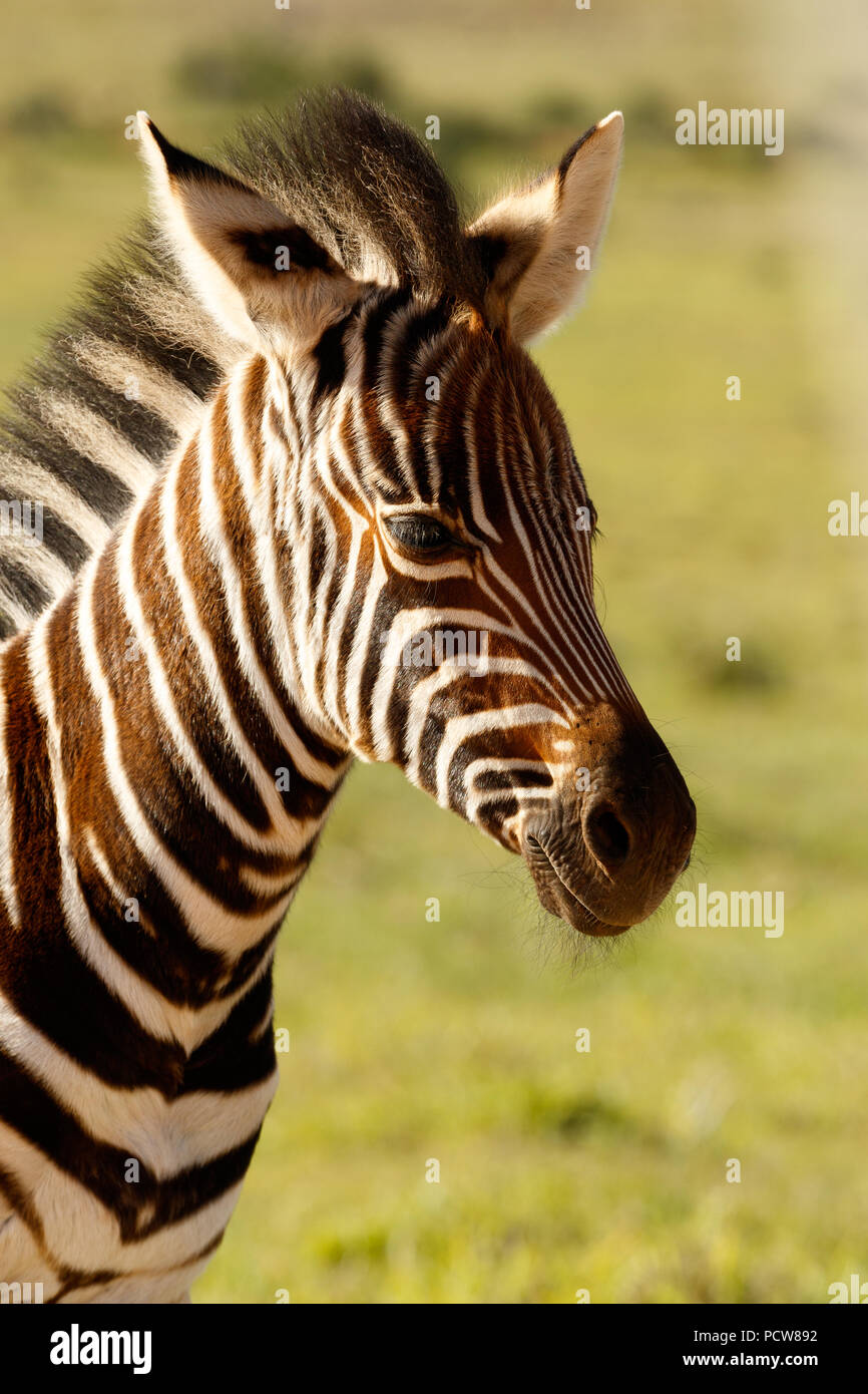 Zebra baby standing alone in the field - Stock Image