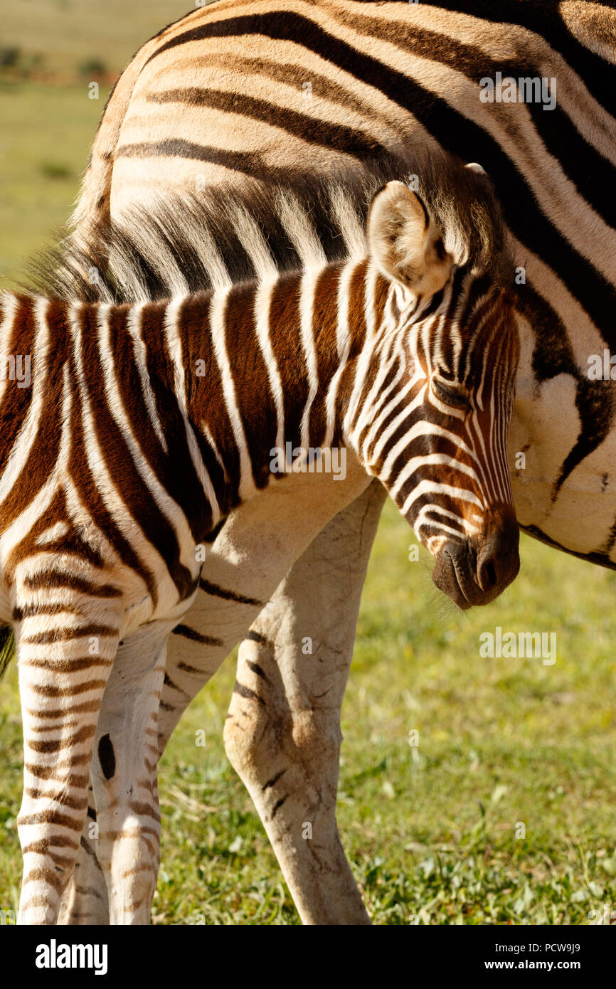 Zebra baby rubbing her head against her mom in the field - Stock Image