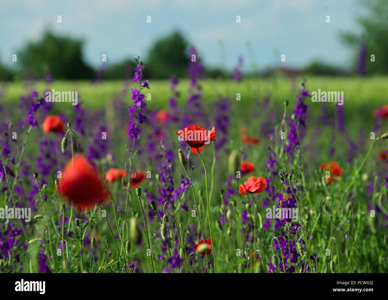 Poppy Flower In Focus Surrounded With Field Plants With Red And