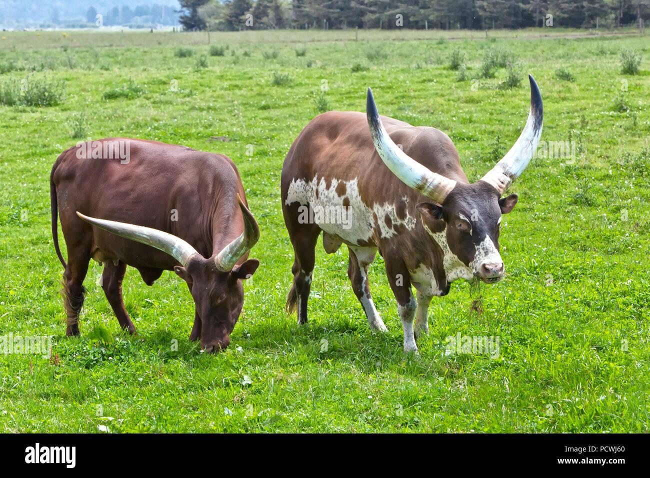 Ankole-Watusi cattle  'Bos taurus'  grazing side. - Stock Image