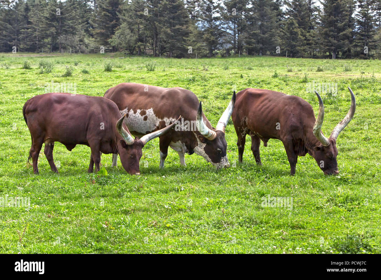Ankole-Watusi cattle  'Bos taurus'  grazing side by side, green pasture, California. - Stock Image
