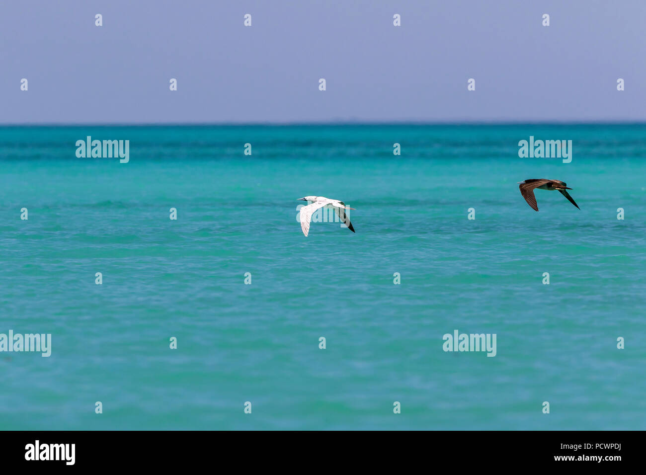 White morph Brown Booby in flight at the Lacepede Islands, Western Australia - Stock Image