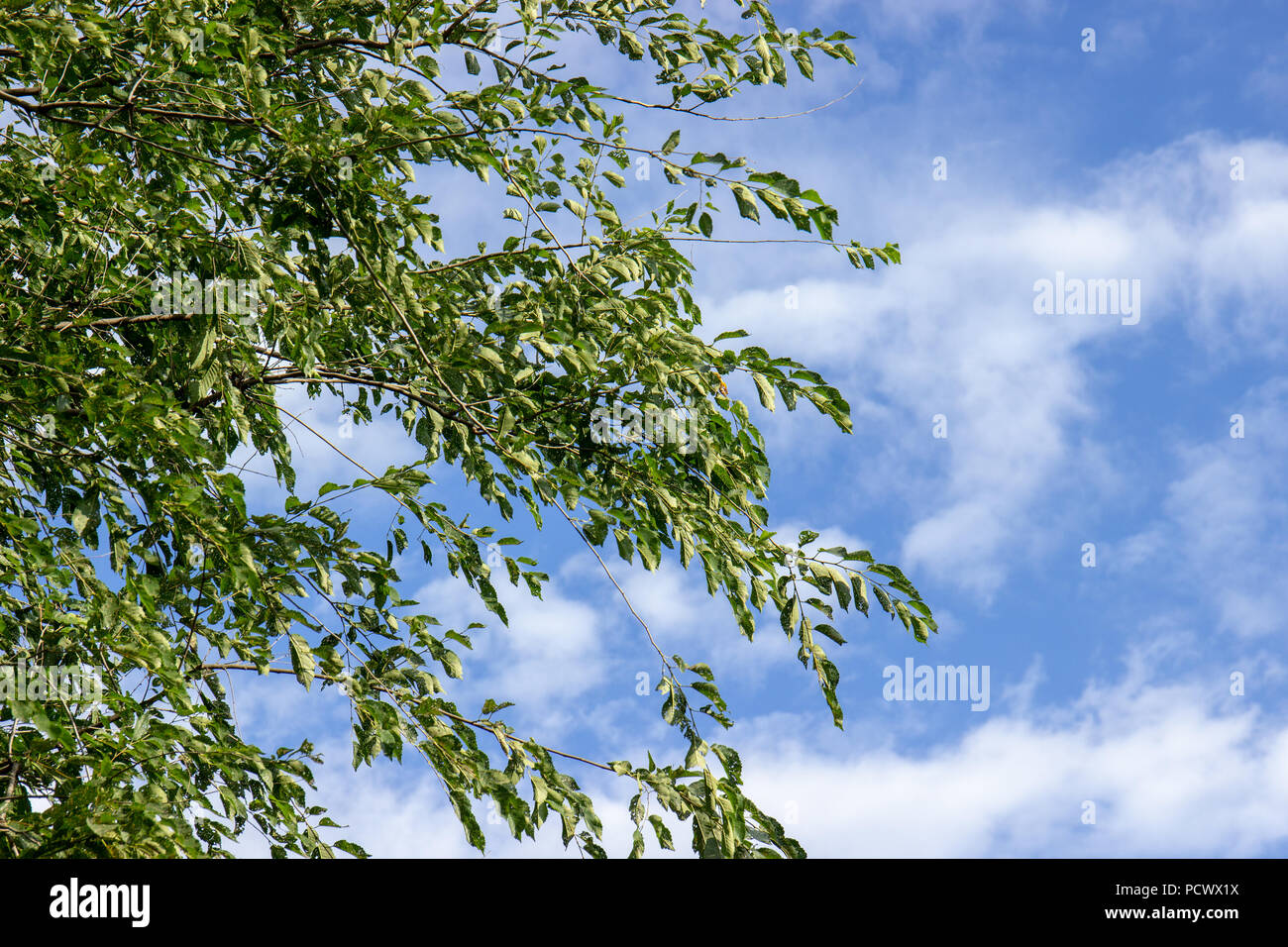 A tree, green leaves plant , blue sky , white clouds. - Stock Image