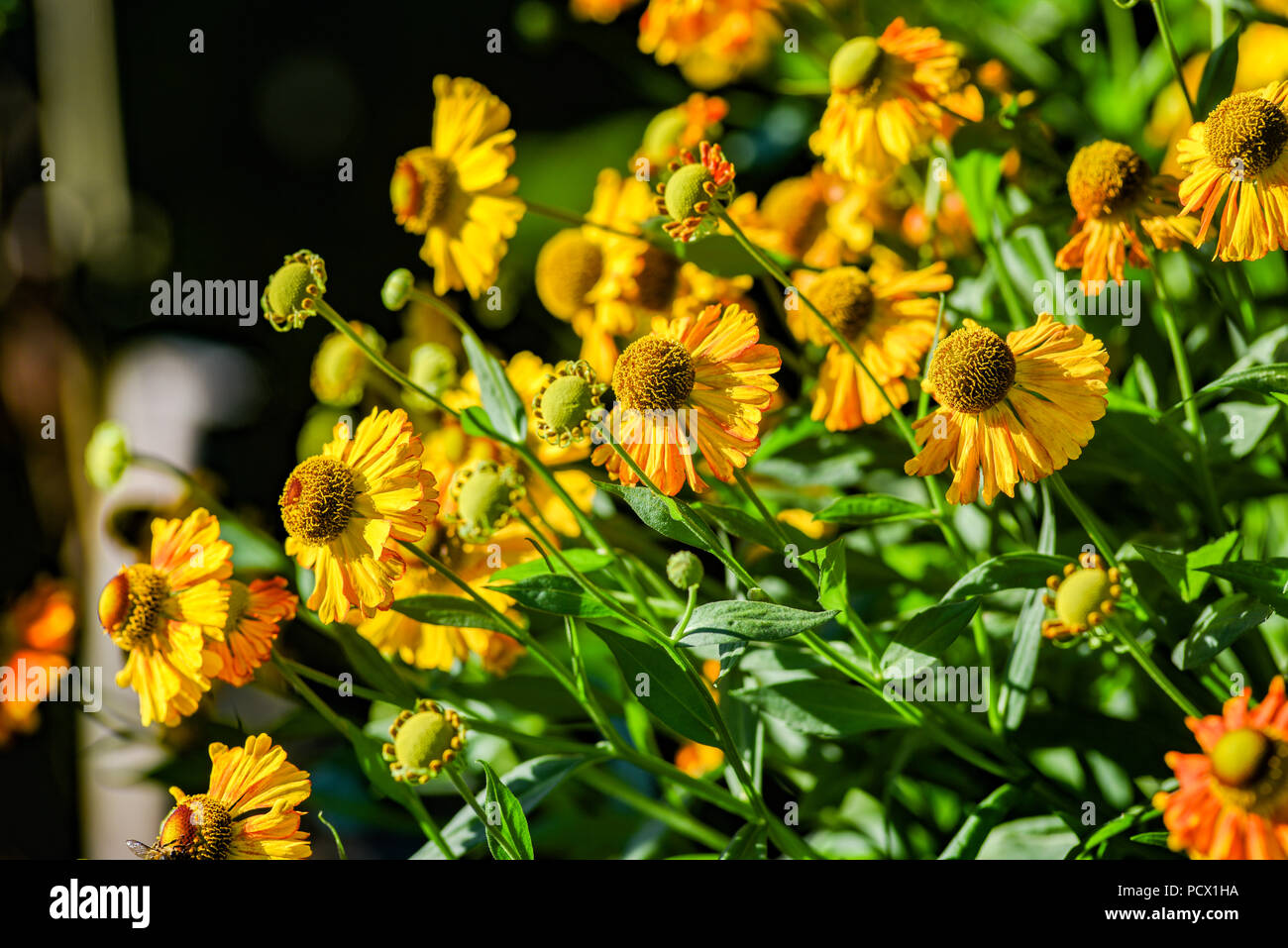 Yellow helenium blooming on the summer field. - Stock Image