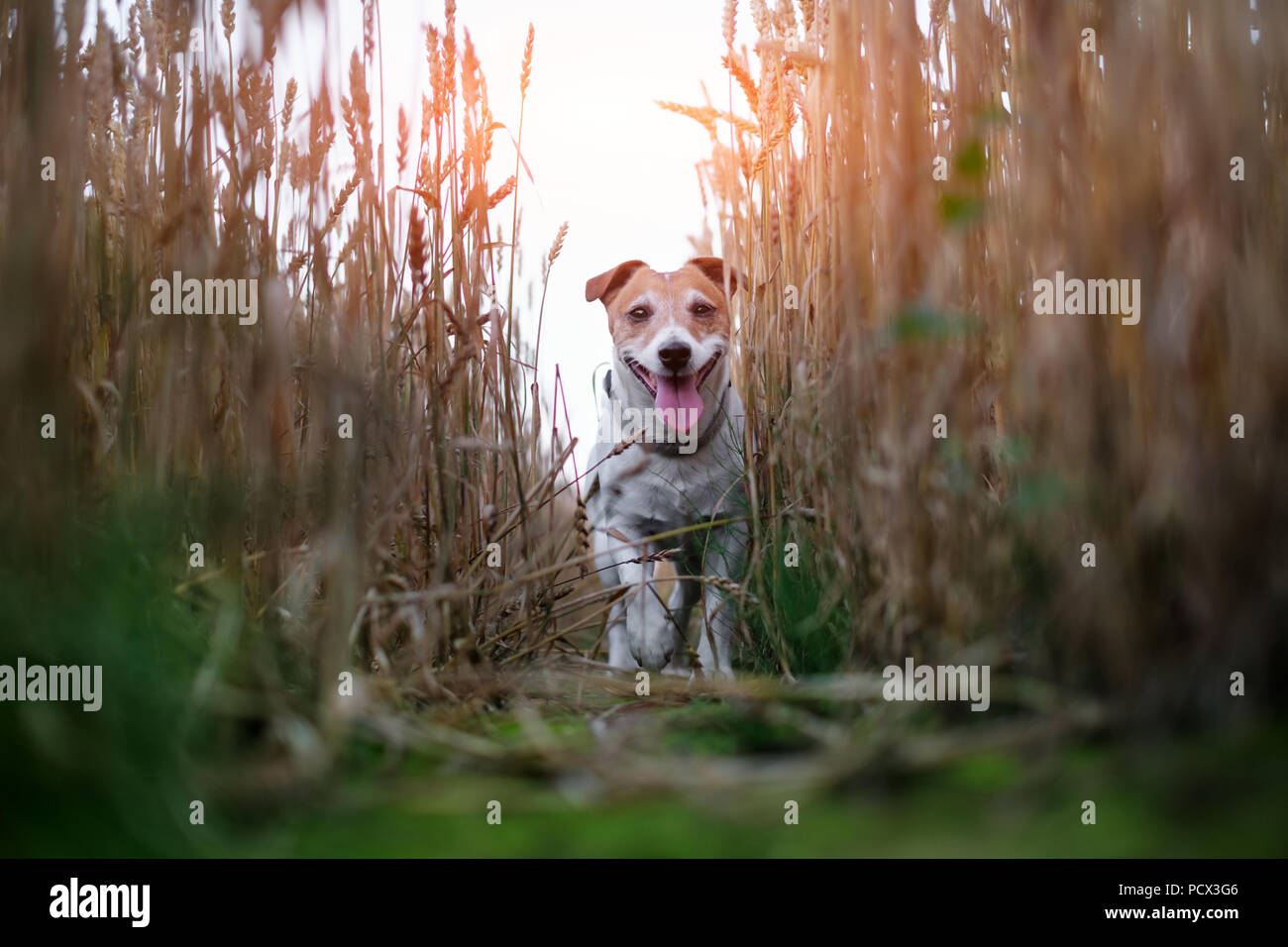 Jack russel terrier on wheat field road - Stock Image