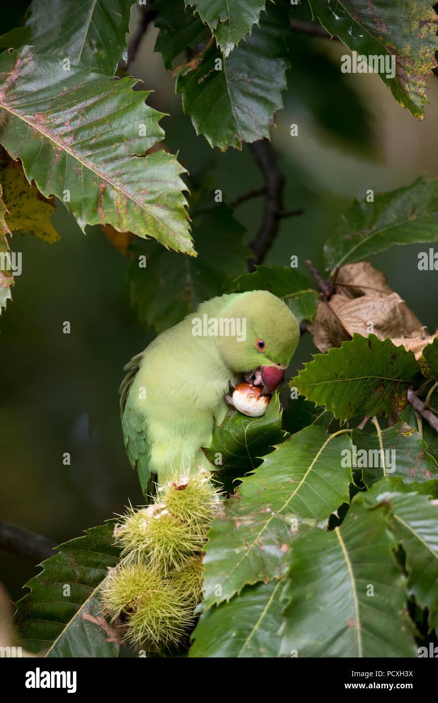 Ring Necked Parakeet; Psittacula krameri Single Eating Sweet Chestnut London; UK Stock Photo
