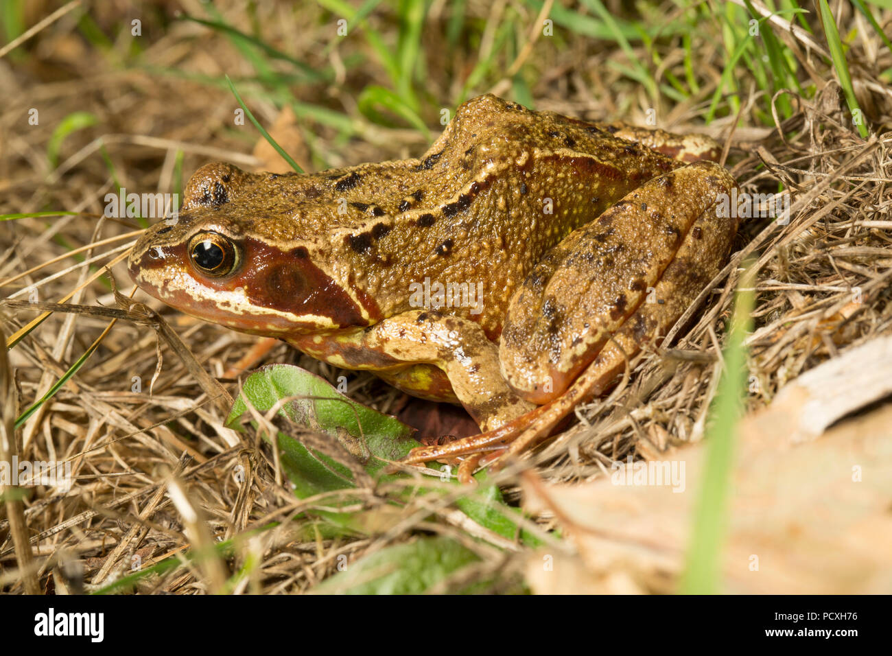 A common frog, Rana temporaria, photographed at night on a dry lawn in a garden during the UK 2018 hot weather. Lancashire North West England UK GB. - Stock Image