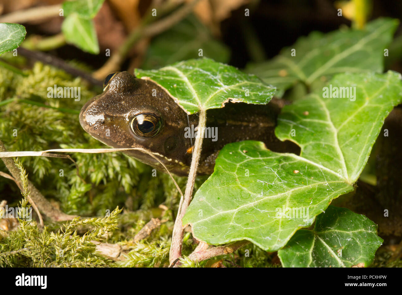 A common frog, Rana temporaria, photographed at night near ivy in a garden during the UK 2018 hot weather. Lancashire North West England UK GB - Stock Image