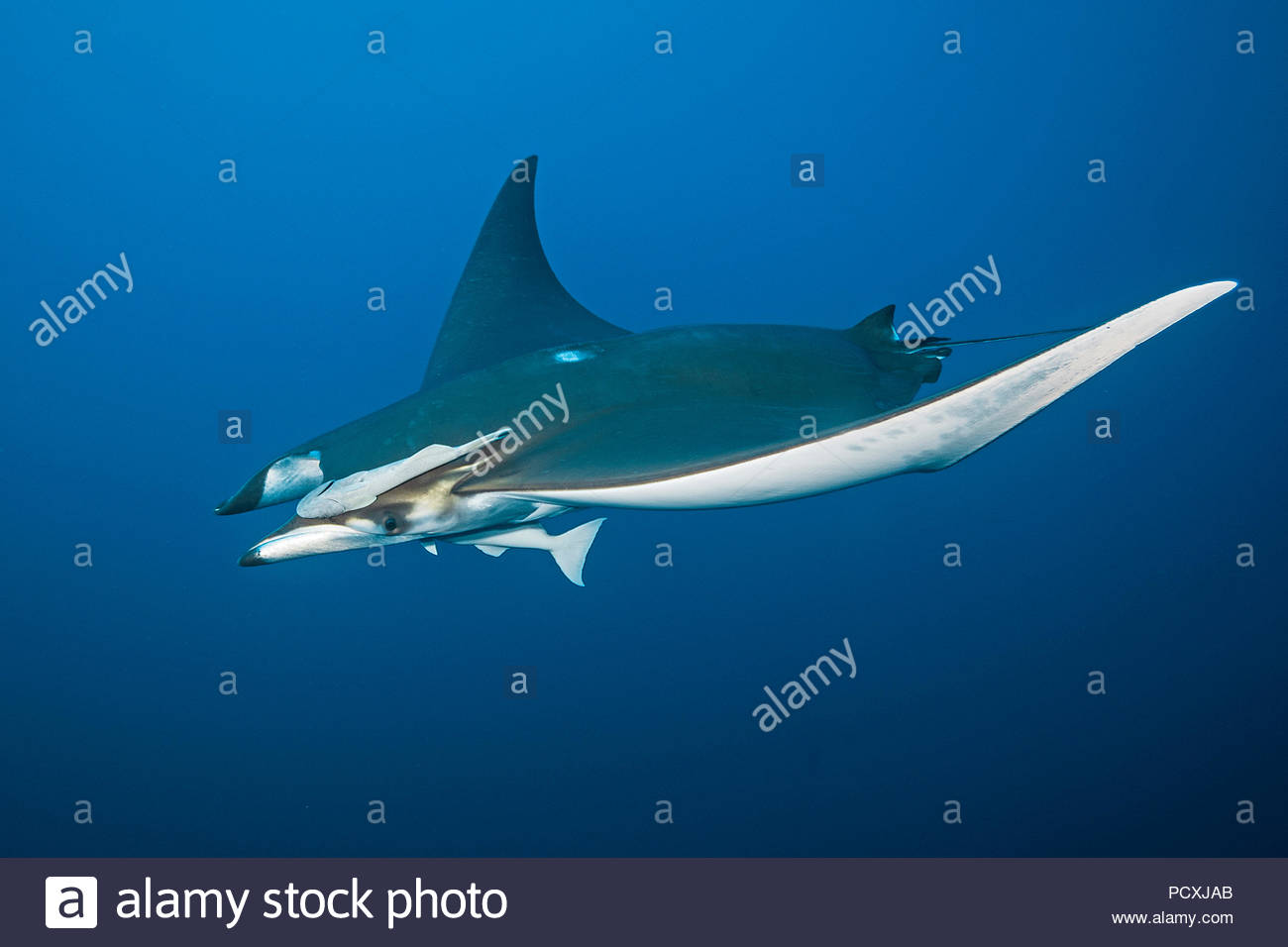 Spiny mobula or Chilean devil ray (Mobula tarapacana) with remoras (Echeneidae), Santa Maria island, Azores, Portugal Stock Photo