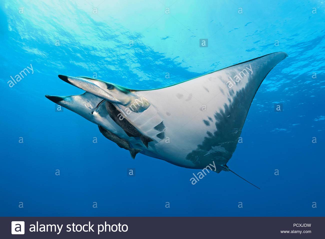 Spiny mobula or Chilean devil ray (Mobula tarapacana) with remora (Echeneidae), Santa Maria island, Azores, Portugal - Stock Image