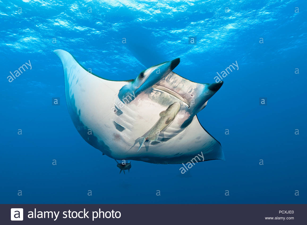 Spiny mobula or Chilean devil ray (Mobula tarapacana) with remora (Echeneidae), Santa Maria island, Azores, Portugal Stock Photo