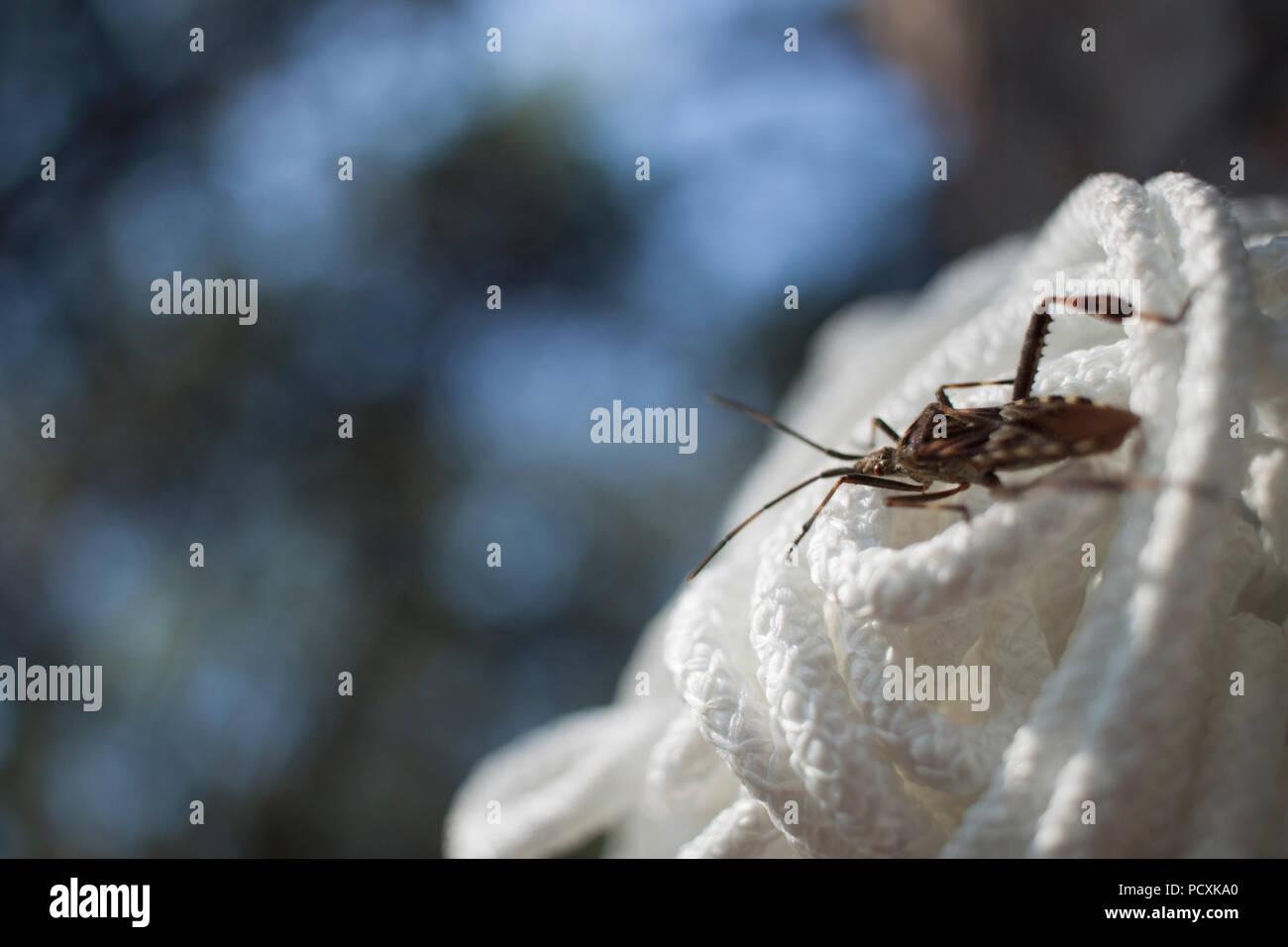 Bug ( Leptoglossus occidentalis ) on rope - Stock Image