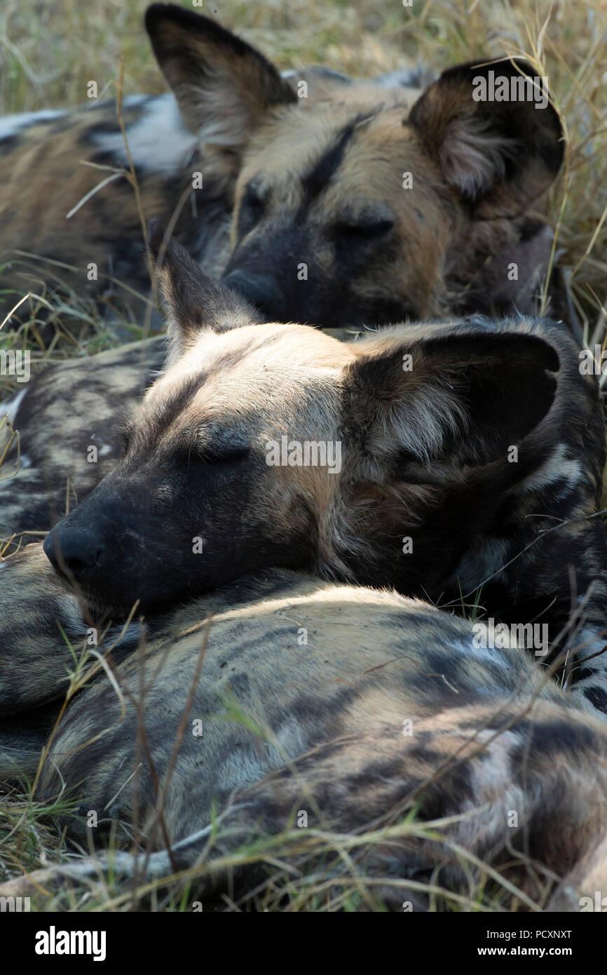 Wild dogs (Lycaon pictus) sleeping - Stock Image