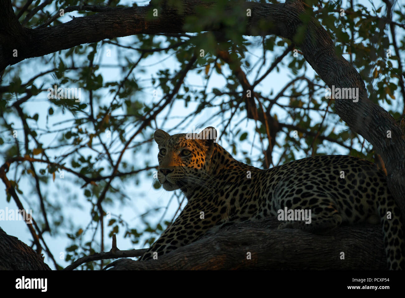 Leopard (Panthera pardus pardus) up a tree - Stock Image