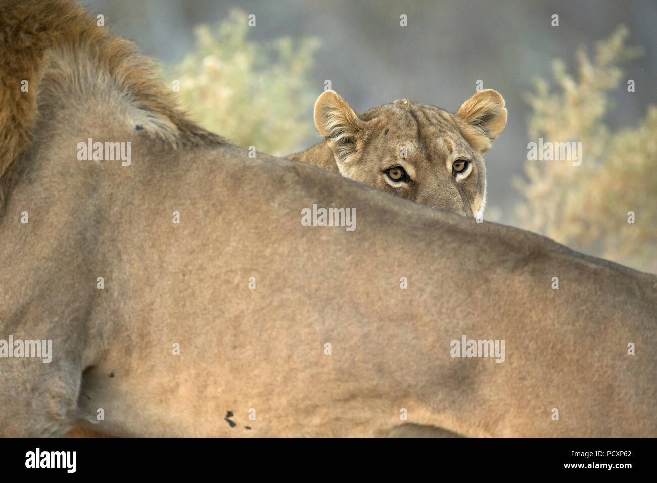 Lions, (Panthera leo) couple during mating - Stock Image