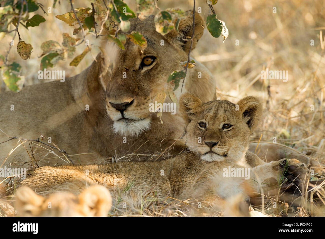 Lioness and cub (Panthera leo) resting - Stock Image
