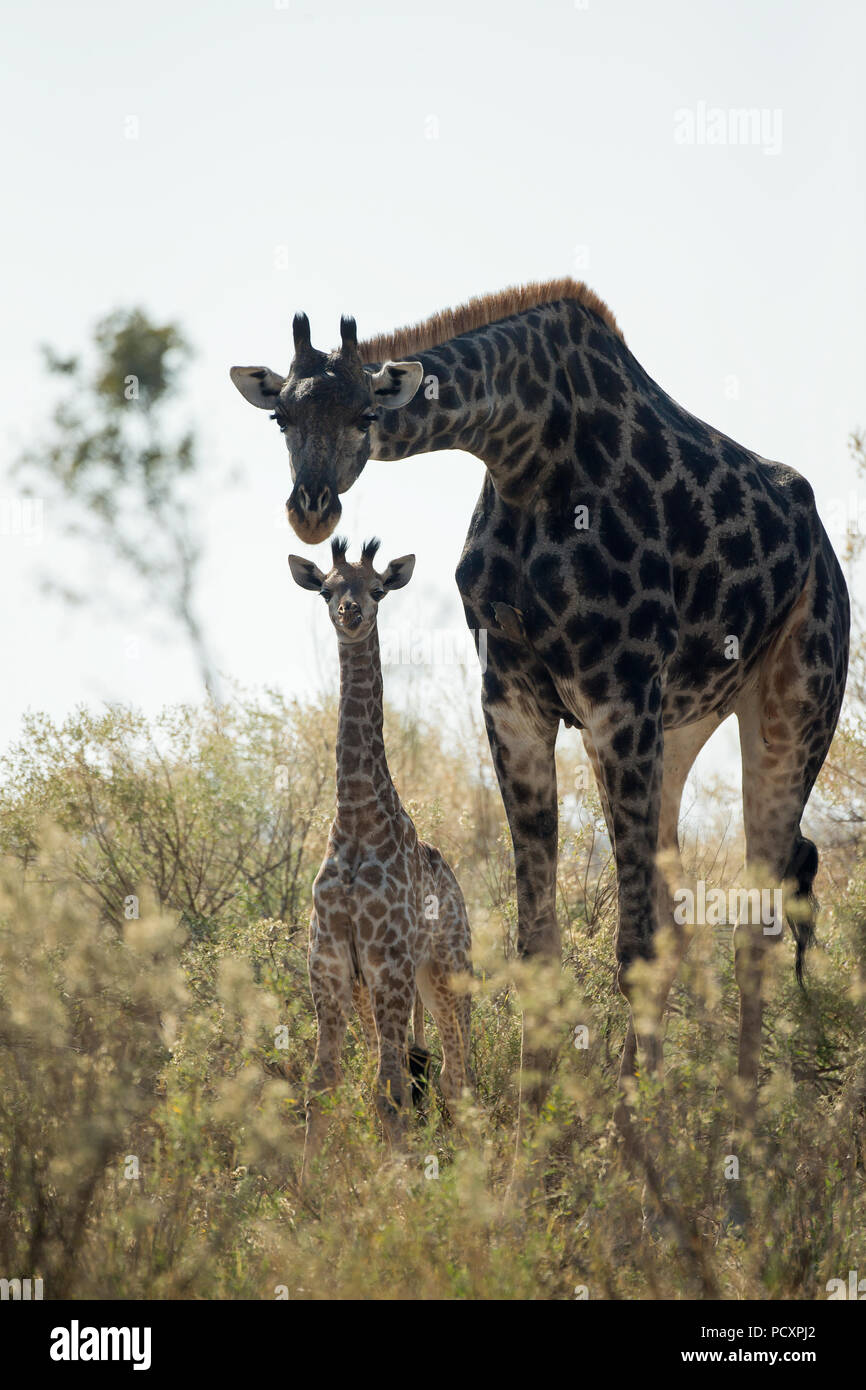Giraffe (Giraffa camelopardalis giraffa) mother with calf - Stock Image